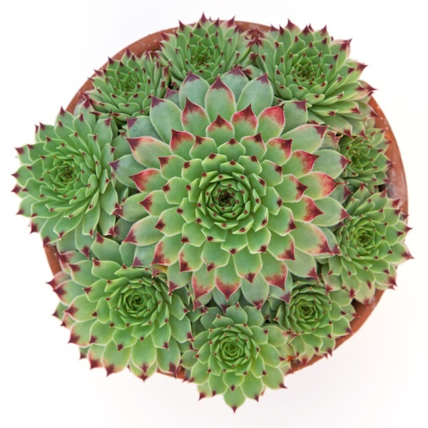 Sempervivum Succulent Vertical Garden Living Wall Green Wall